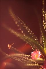 Piccolina (Yolo Axolotl) Tags: light plants naturaleza flower color macro planta luz home nature mxico casa df little flor piccolo challenge pequea photochallenge t1i yoloaxolotl 21dayphotochallenge {vision}:{sky}=0654 {vision}:{clouds}=0748 {vision}:{outdoor}=0828 {vision}:{sunset}=0548