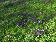 Blackheath RS Already spring flowers! (Julie70 Joyoflife) Tags: flowers london spring fevrier photostroll photojuliekertesz midfebruary springwalksinlondon springflowersinfebruary