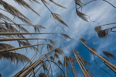 Pampas reloaded (hyep) Tags: uk blue sky grass clouds kent hildenborough pampas 2014 cortaderia selloana plumeros