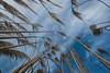 Pampas reloaded (hyep) Tags: uk blue sky grass clouds kent hildenborough pampas 2014 cortaderia selloana plumeros