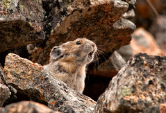 I am right here! (Happy Photographer) Tags: yellowstonenationalpark pika happyphotographer amyhudechek