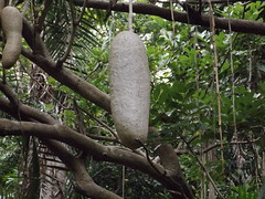 Bigassed seed pod (Aussie Dave B) Tags: plant tree garden pod flora vine brisbane jungle queensland tropic botany seep