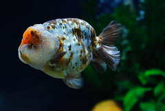 (wee_photo) Tags: pet fish aquarium nikon goldfish wee fx ff   ranchu 105mm   d700