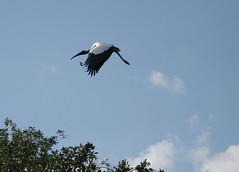 flight 1 (tropic exposure) Tags: wood florida flight fl stork