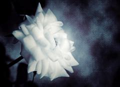 in the heat of the night (t1ggr) Tags: flower texture dark samsung csc darktones darktexture ringexcellence dblringexcellence nx1100