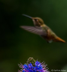 Huntington Beach Central Park - 8247 (www.karltonhuberphotography.com) Tags: flower bird nature inflight wings lowlight hummingbird handheld southerncalifornia huntingtonbeach shallowdepthoffield selectivefocus 2014 unconventional huntingtonbeachcentralpark sigma150500mmos nikond7000 karltonhuber