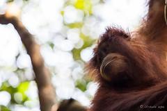 Orangutan 4827 (Ursula in Aus) Tags: animal sumatra indonesia unesco orangutan ape greatape bukitlawang gunungleusernationalpark earthasia