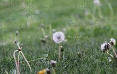(Isa_IQV) Tags: españa blur macro green grass photoshop spain dandelion desenfoque wish boke makeawish dientedeleón