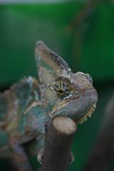 chameleon (Puno3000) Tags: macro nature animals canon photo chameleon lizards
