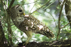 Barred Owl (DFChurch) Tags: fish bird feather swamp meal owl corkscrew barred audubon strixvaria