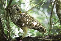 Barred Owl (DFChurch) Tags: fish bird feather swamp meal owl corkscrew barred audubon strixvaria