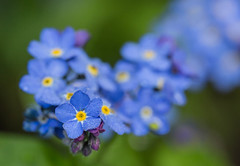 Forget-me-not (Thelma Gatuzzo) Tags: flowers mist flower nature fleur germany garden flora europa europe ngc flor dew bloom forgetmenot waterdrops blume fiore allemagne printemps alemanha myosotis kronberg 2013 thelmagatuzzophotography