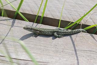 IMG_5625 Common Lizard