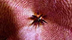 Stapelia flower (Skolnik Collection) Tags: flower macro greenhouse corona apocynaceae stapelia gigantea skolnik ascle