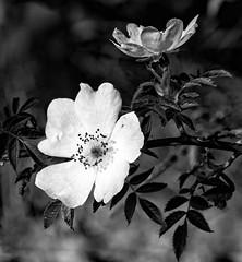 Wild Rose (kenemm99) Tags: summer bw macro rose canon sep 5dmk3