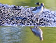 spotted sandpiper at Cardinal Marsh IA 854A7068 (lreis_naturalist) Tags: county cardinal reis iowa larry spotted marsh sandpiper winneshiek