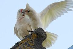 Long-billed Corella & Little Corella pair_2216E (Neil H Mansfield) Tags: bird nature inverleigh victoria australia corella cacatuasanguinea cacatuatenuirostris
