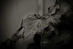 Wet Ivy (CameraOne) Tags: ivy plant rain raindrops wet raw canon6d canonef50mm14 outdoor backyard blackandwhite cameraone 28 bokeh