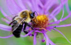 Feeding (imageClear) Tags: bee bumblebee aster flower feeding insect nature beauty october aperture nikon d500 105mm imageclear flickr photostream