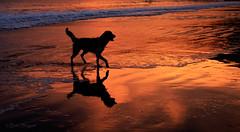 Dark Star (Beth Sargent) Tags: goldenretriever petphotography dog puppy beach sunset aviladogbeach silhouette