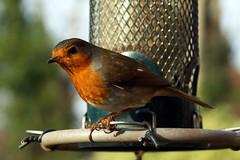 What's That Noise? (steve_whitmarsh) Tags: animal birds nature garden robin