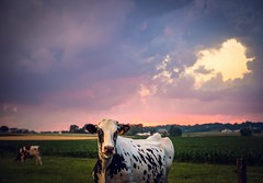 sunset (Jen MacNeill) Tags: cow cows bovine cattle rual farm agriculture lancastercounty lancaster pennsylvania pa sunset evening holstein