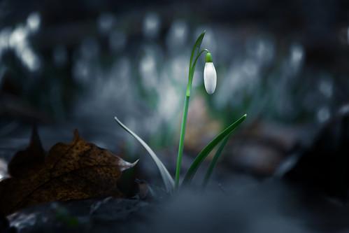 wild snowdrop (Černá rokle)