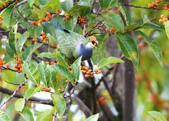 Orange-fronted Fruit-dove (Greg Miles) Tags: orangefrontedfruitdove ptilinopusaurantiifrons alotau milnebay papuanewguinea