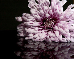 Chrysanthemum 05-12-13 (2) (MelenaMe) Tags: flowers flower reflection nature lavender lilac chrysanthemum