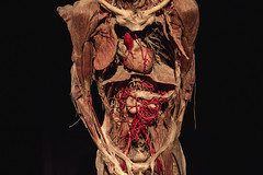 (totsamiykotoriy) Tags: muscles blood heart skin body chest medical anatomy bones inside liver organs vessels nerves