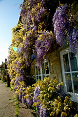141 - Wonderful Wisteria - 22nd May 2013 (Trev Earl) Tags: flowers canon buckinghamshire 5d whitchurch wisteria 2013365dayphotochallenge