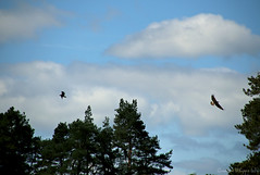 Ospreys in flight (quayman) Tags: scotland loch lomand ospray