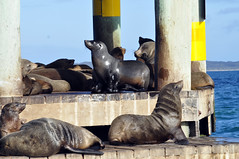 Basking in the sun (Roving I) Tags: playing nature animals wildlife australia victoria queenscliff colonies chinamanshat furseals