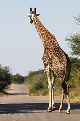 Giraffe (georgetravels) Tags: africa road animal walking southafrica away safari tall giraffe krugernationalpark kruger wildlifephotography