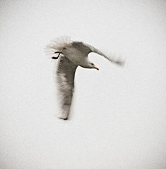 _DSC8638 (Alex Pezeshkmehr) Tags: sea motion blur birds wings long exposure flight