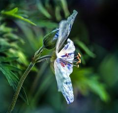 Geranium Pratense Striatium (pollylew) Tags: flower flora bokeh cranesbill geraniumpratense hardygeranium geraniumpratensestriatum