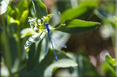 Blue Damselfly (Jill Clardy) Tags: county ca blue lake bug insect wildlife basin national siskiyou damselfly damselflies refuge day203 klamath modoc tule tulelake refufe day203365 3652013 365the2013edition 4b4a9958 22jul13