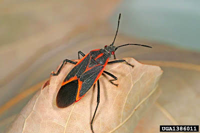 Photo - Box-elder-bug