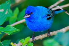 Indigo Bunting (Alan Gutsell) Tags: bird nature alan indigo migration songbird bunting indigobunting texasbirds birdsoftexas alangutsell
