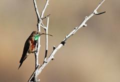 Wedge-tailed Hillstar (uropsalis) Tags: hummingbird bolivia cochabamba hillstar oreotrochilusadela cerrotunarí