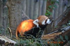 Idgie is the Highlight (MsLiz788) Tags: redpanda zooatlanta zoosofnorthamerica