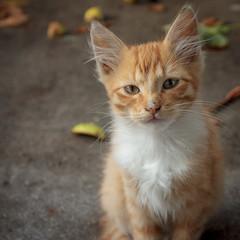 gatto (©Andrey) Tags: autumn pets cat garden kitten sony latvia kit gatto riga lettonie латвия рига nex7