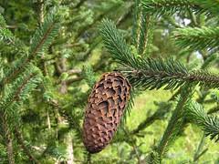 Picea balfouriana Rehd. & Wils. 1914 (PINACEAE) (helicongus) Tags: picea pinaceae jardínbotánicodeiturraran piceabalfouriana