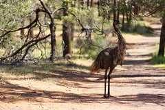 The Casual Emu (QuikSink) Tags: blue trees red colour green eye grass yellow standing trek walking sand warm bright hiking path exploring beak feathers fluffy sunny australia dirt emu casual trunks exploration southaustralia pathway dayout flindersranges feathery greatday stmarypeak canon70200mm 2013 canon5dmkiii canon5dmarkiii