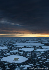 A Polar Bear in the pack-ice at 82,36 degrees north...(Explored, my 148th) (Pewald) Tags: