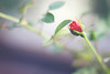 mini rose (deborah naomi kosaka) Tags: rose 50mm rosa mini 18 t3i minirose minirosa deborahnaomi canont3i deborahnaomik