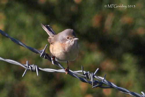 """Subalpine Warbler, Longstone, 25.10.13, M.Goodey • <a style=""""font-size:0.8em;"""" href=""""http://www.flickr.com/photos/30837261@N07/10515623924/"""" target=""""_blank"""">View on Flickr</a>"""