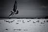 Beneath my wings (. Jianwei .) Tags: shadow white black bird seagull sony cannonbeach a55 kemily