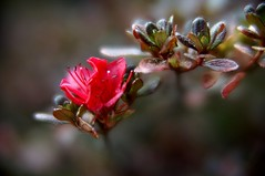 resisting autumn (gwuphd) Tags: autumn red canon dof bokeh azalea f11 77mm