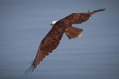 Brahminy Kite (Rose Atkinson) Tags: india birds wildlife goa
